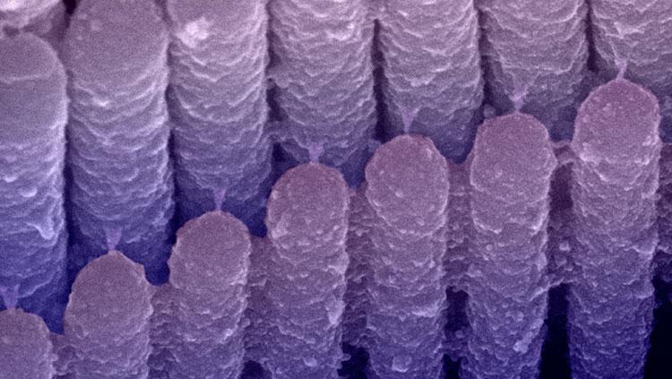 ear hair cells in purple